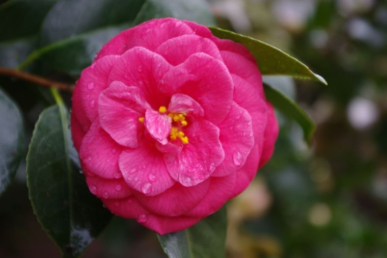 Here is just one amazing Camellia blossom. Irresistible.