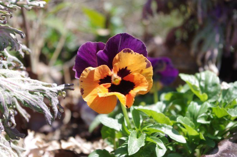 02 purple:orange pansie