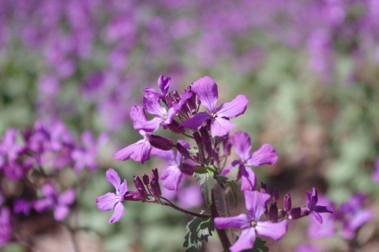 08 purple weeds