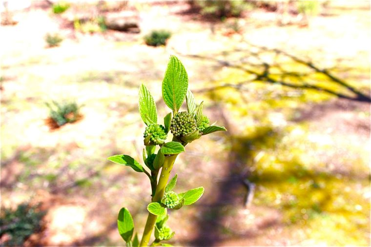 17 dogwood bush